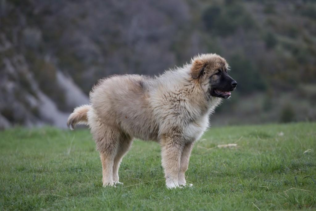 Кавказская овчарка: описание и характеристика породы, все данные