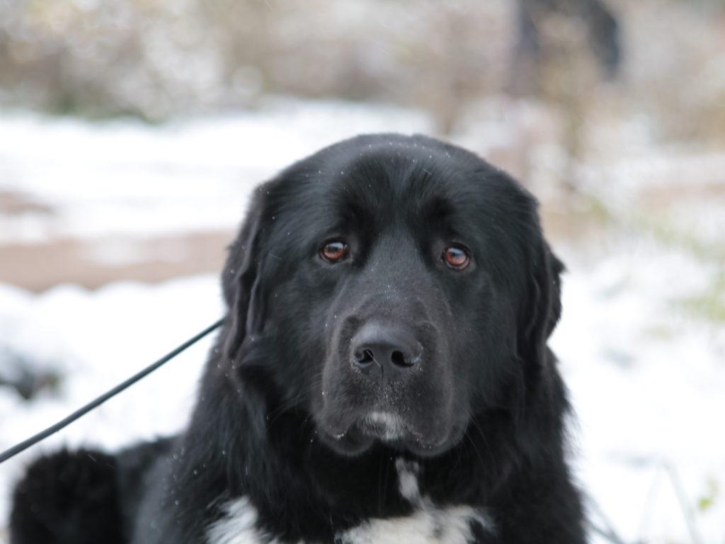 Характеристика собак породы голландская овчарка (хердер) с отзывами и фото. голландская овчарка (хердер) – описание породы