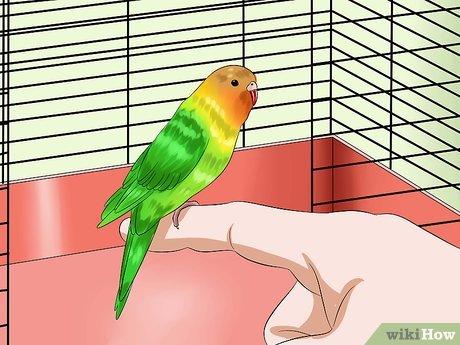 Как приучить к рукам волнистого попугая, если он боится
