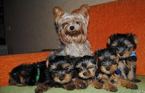 Йоркширский терьер беби фейс: особенности породного типа, внешний вид, характер, здоровье, уход и кормление + фото собак