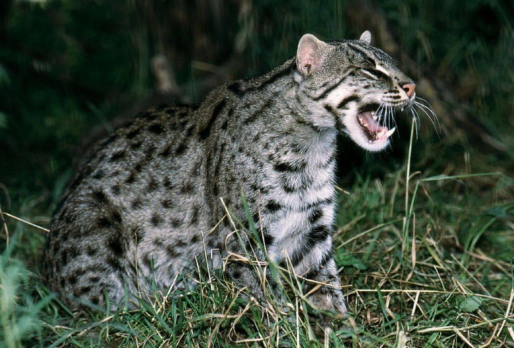 Виверровый кот-рыболов кот который умеет плавать