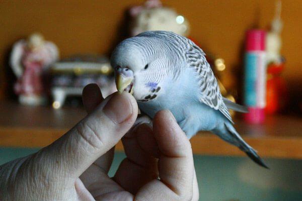 Как приручать волнистых попугаев - wikihow