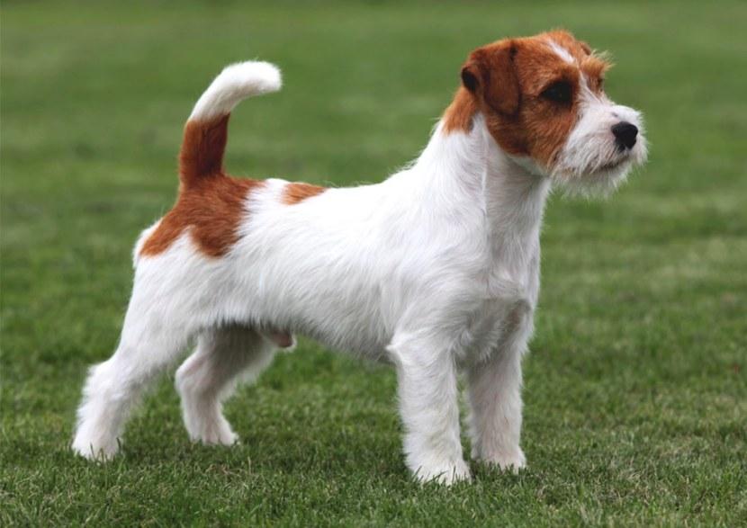 Гладкошерстные породы собак: описание и нюансы ухода