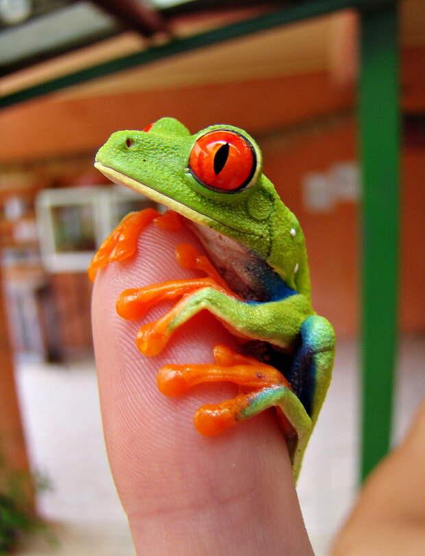 Лягушка квакша обыкновенная: виды, содержание в террариуме, фото