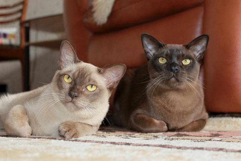 Бурманская кошка (бурма): описание породы, история происхождения бурмиллы, стандарты, характер, все о кошке, цена