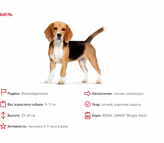 Какой нужен уход собаке породы бигль: содержание в квартире и на улице + как правильно ухаживать за щенком?