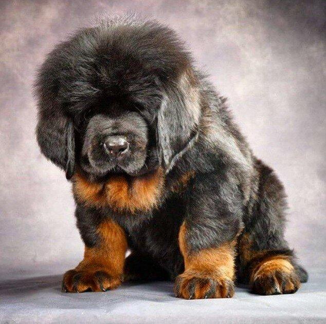Топ-10 самых больших пород собак в мире – наши защитники и верные друзья