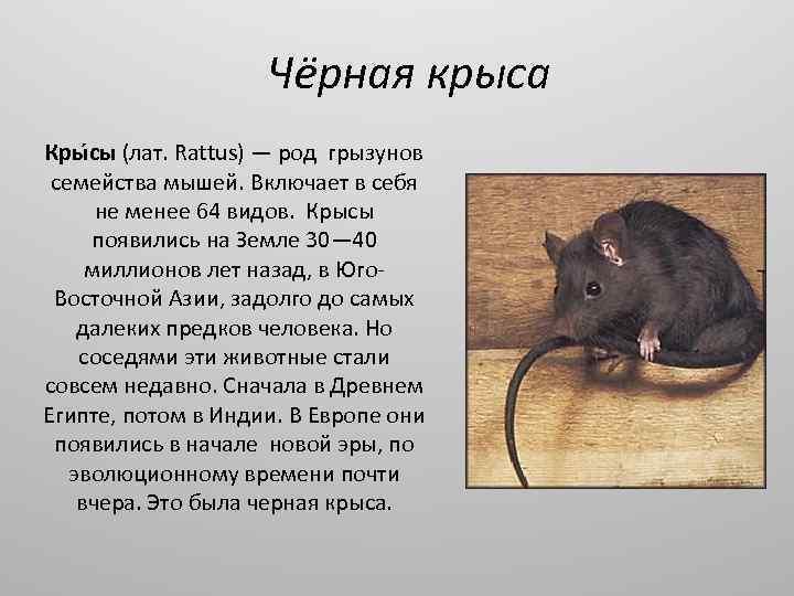 5 причин панически бояться крыс