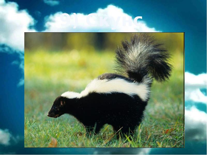 Скунс — фото, описание, особенности животного