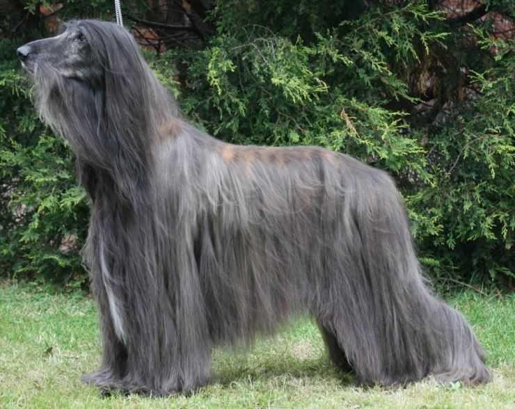 Гладкошерстные породы собак (61 фото): названия короткошерстных собак больших, средних и маленьких размеров. как содержать собак с короткой шерстью в квартире?