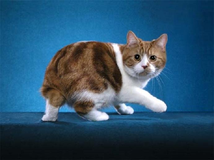 Кошка кимрик: описание внешности и характера, уход за питомцем и его содержание, выбор котёнка, отзывы владельцев, фото кота