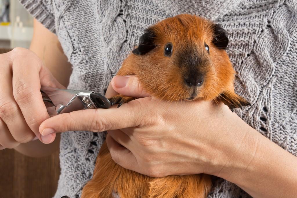 Нужно ли подстригать когти морской свинке