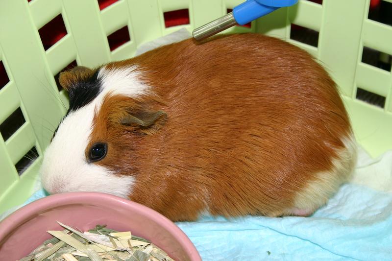 Интересные факты о морских свинках для детей и взрослых