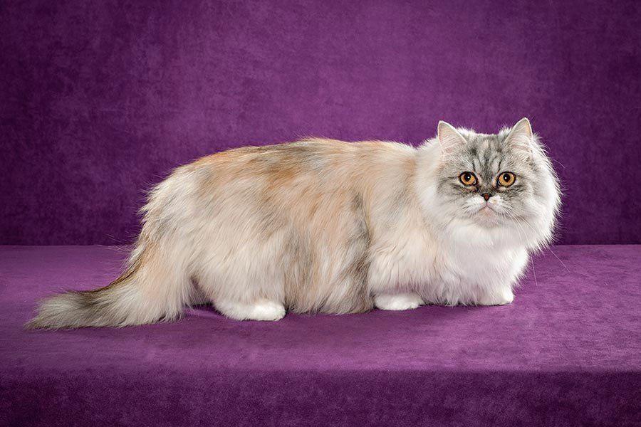 Кошки породы наполеон: описание и особенности ухода