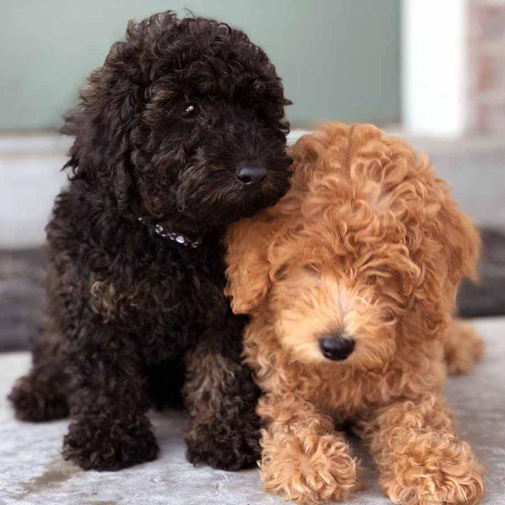 Гладкошерстные породы собак: для квартиры, маленькие, средние, большие