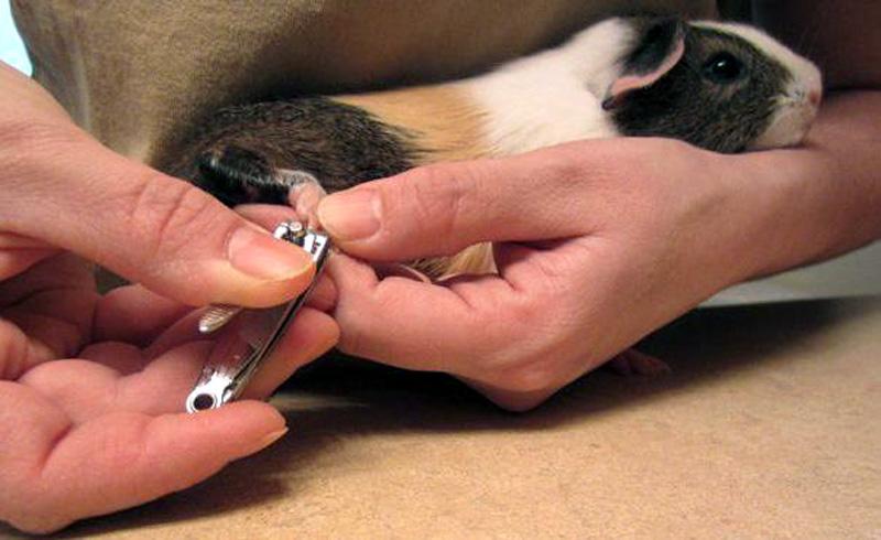 Как подстричь когти морской свинке в домашних условиях: надо ли и как правильно это делать, ножницы для стрижки когтей