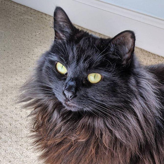 Шантильи-тиффани: описание породы, характер кошек, советы по содержанию и уходу, фото