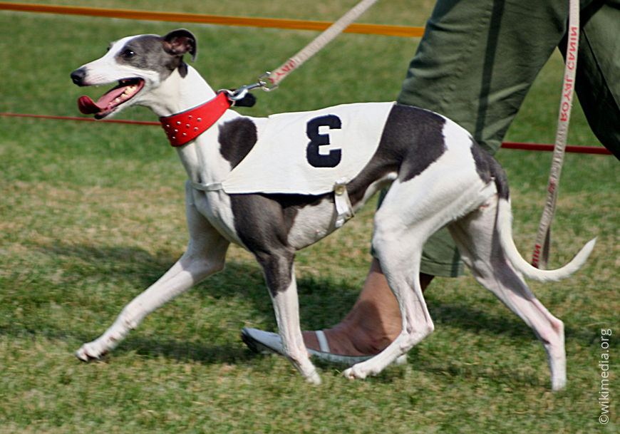Уиппет описание породы собак, фото и видео материалы, отзывы о породе