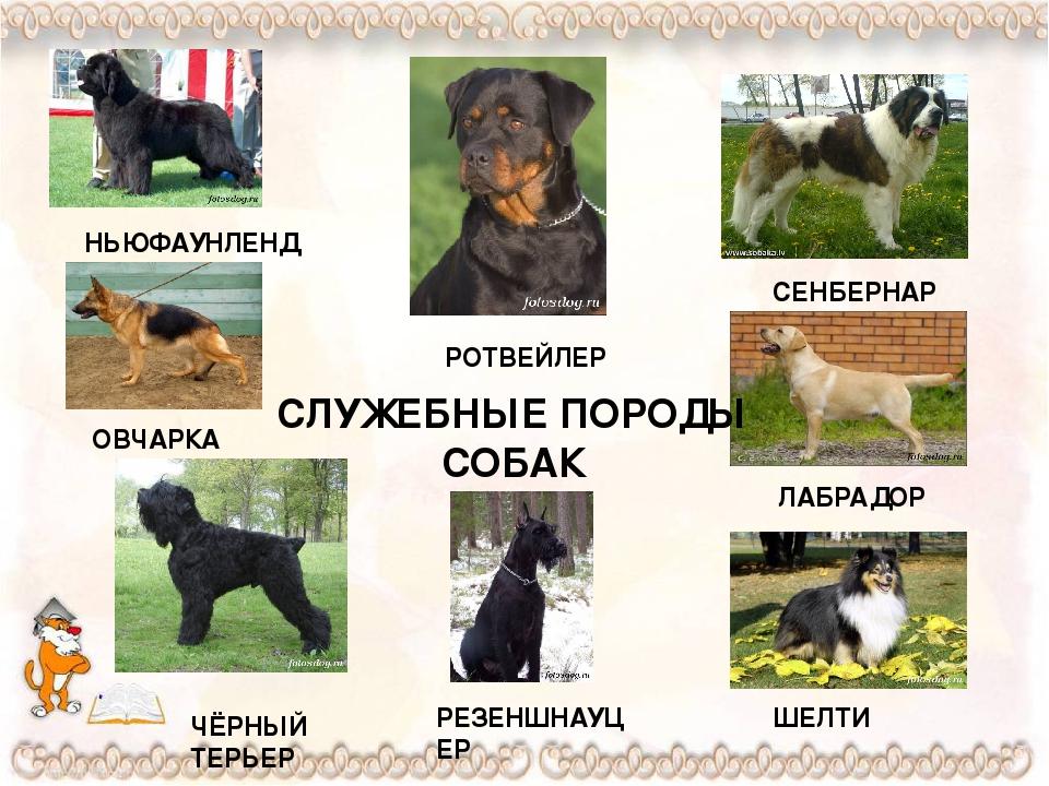 Овчарки: виды, характеристика, выбор и советы по уходу