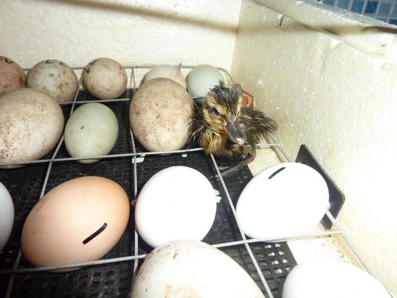 ᐉ яйца красноухой черепахи, как определить беременность и что делать если черепаха снесла яйцо - zoopalitra-spb.ru