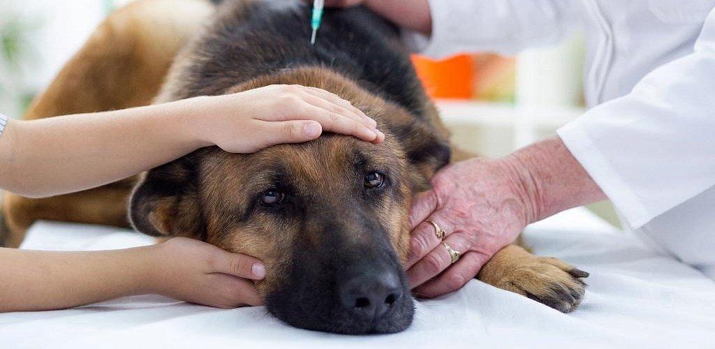 """Гипогликемия у собак - симптомы, лечение снижение уровня глюкозы в крови у собак в москве. ветеринарная клиника """"зоостатус"""""""