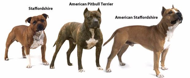 Сравнение двух лучших бойцовских собак чем отличается стаффордширский терьер (амстафф) от питбуля?