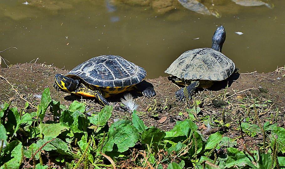 Черепаха: описание, виды, среда обитание, что едят, враги, образ жизни | планета животных