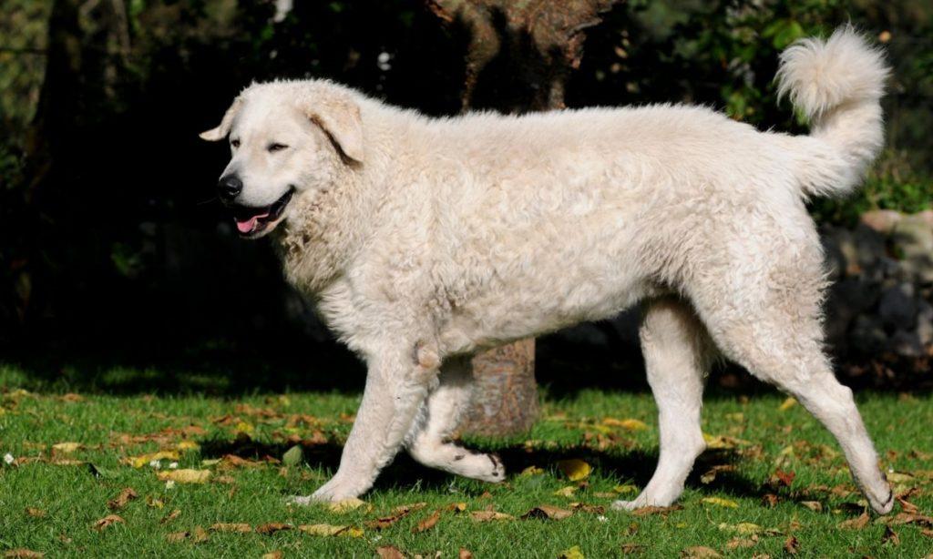 Порода собак кувас - описание, характер, характеристика, фото венгерских кувасов и видео, цена