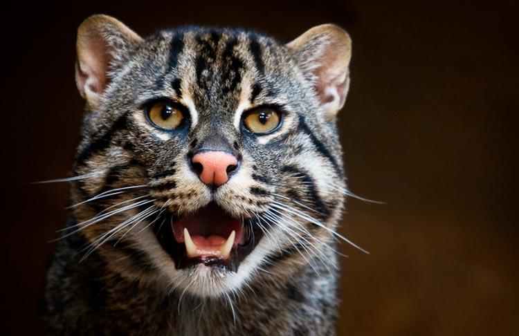 Виверровый кот-рыболов. можно ли держать в домашних условиях? советы +видео