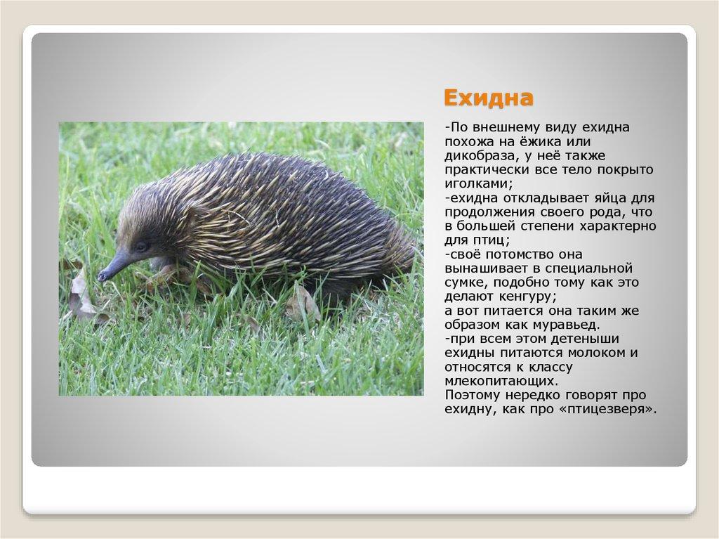 Австралийская ехидна: чего не могут понять учёные? | животные | школажизни.ру