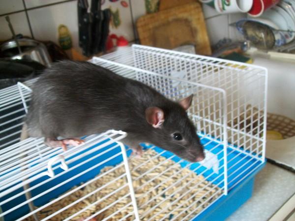 Всё об уходе и содержании домашних крыс