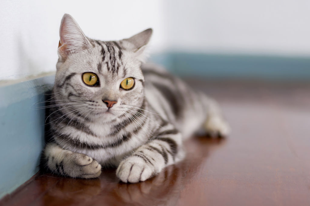 Американская короткошерстная кошка: описание, характеристики, фото - мир кошек