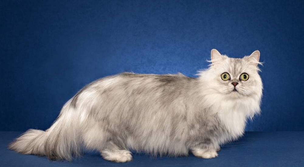 Кот наполеон: описание породы менуэт и особенности характера