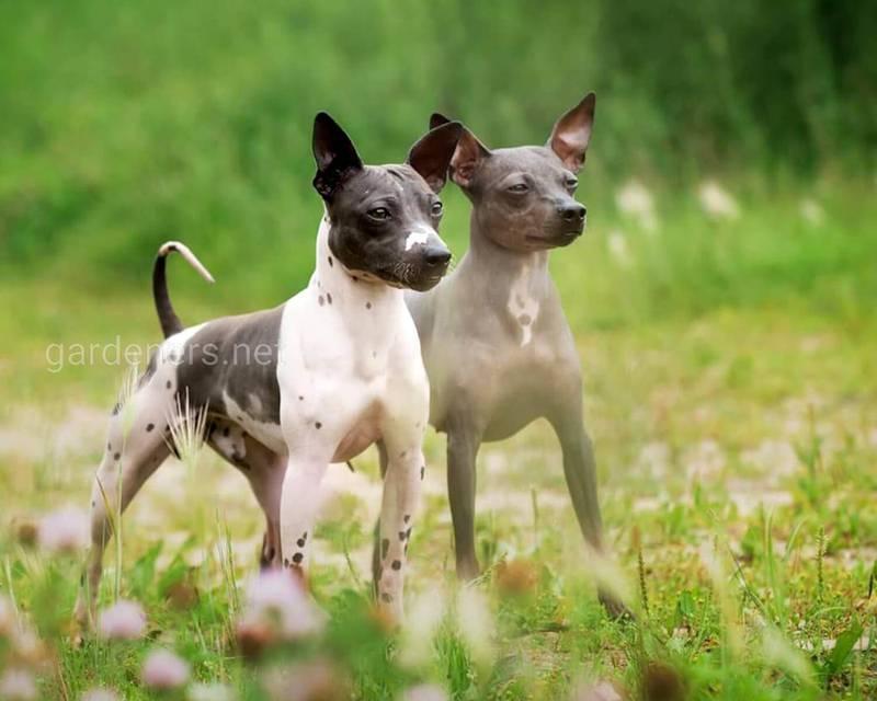 Американская акита: 95 фото и видео обзор породы. особенности ухода, содержания и выбор щенка