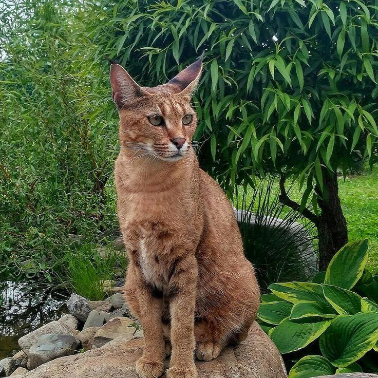 Кошка рысь, домашняя порода кошек, похожих на рысь с кисточками на ушах, название, фото