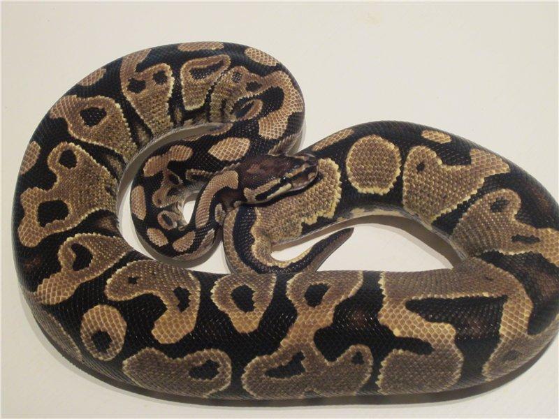 Королевская змея – фото, описание, содержание, питание, купить