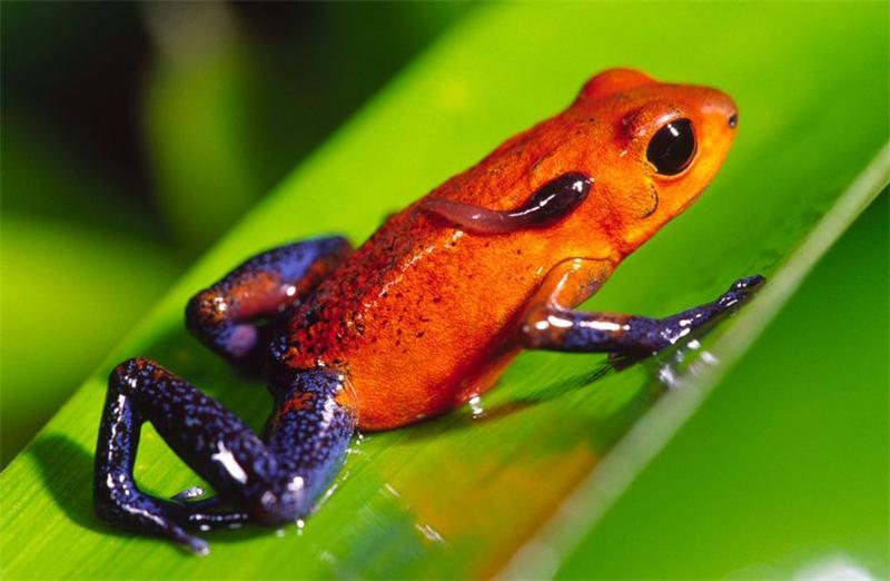 Ядовитые лягушки-древолазы: капелька смертельного великолепия