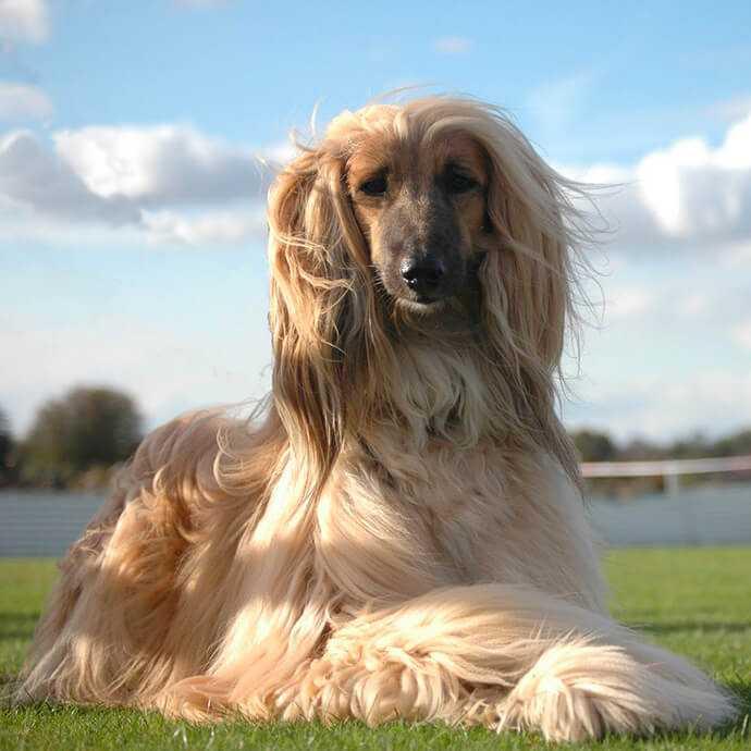 Топ 10 тупых собак в мире. самые глупые породы собак в мире
