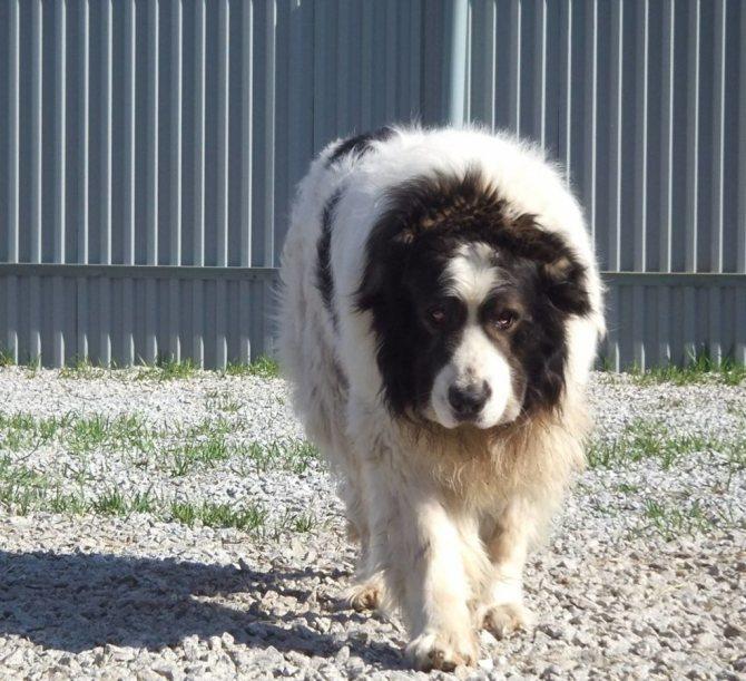 Пиренейская горная собака ???? фото, описание, характер, факты, плюсы, минусы собаки ✔