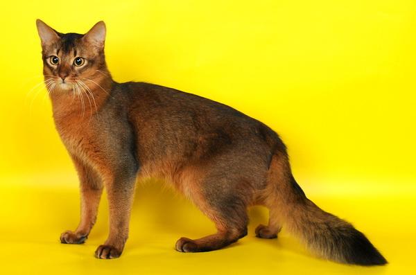Сомалийская кошка: описание породы с фото, особенности ухода за животным