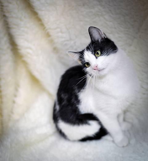 Окрасы британских кошек с белым – партиколоры