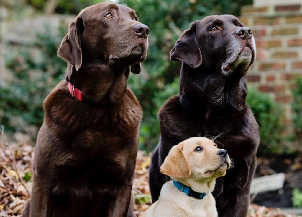 Топ 38 самых больших собак в мире (с фото)