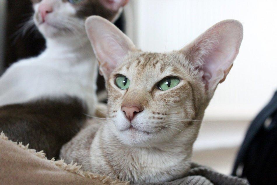 Ориентальная порода кошек: история и характеристика, особенности и уход - мир кошек