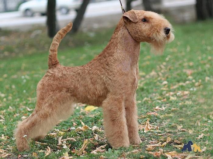 Лейкленд-терьер (27 фото): описание породы собак, содержание и уход за щенками