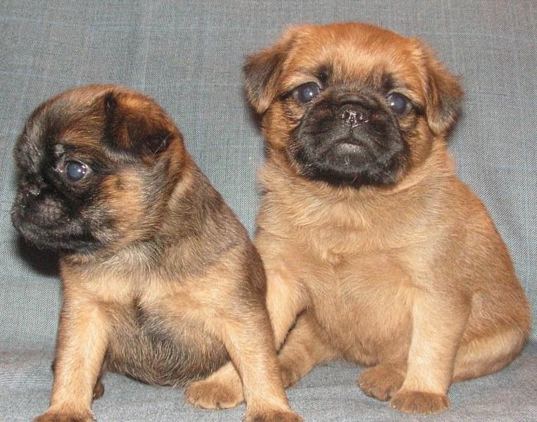 Пти-брабансон фото, описание собаки и минусы породы, питомники, отзывы