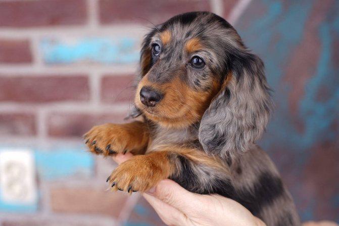 Пятнистая такса длинношерстная собака – 7 вещи, которые вам нужно знать