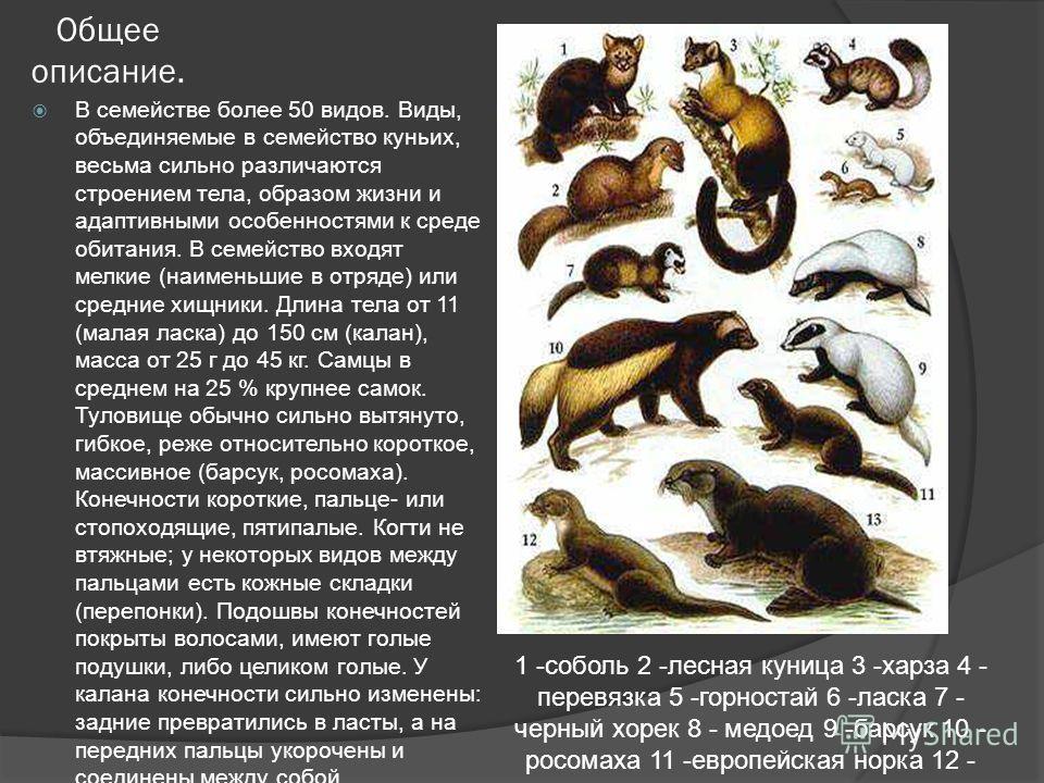 Как выглядит хорь: виды, размеры, названия и описание с фото