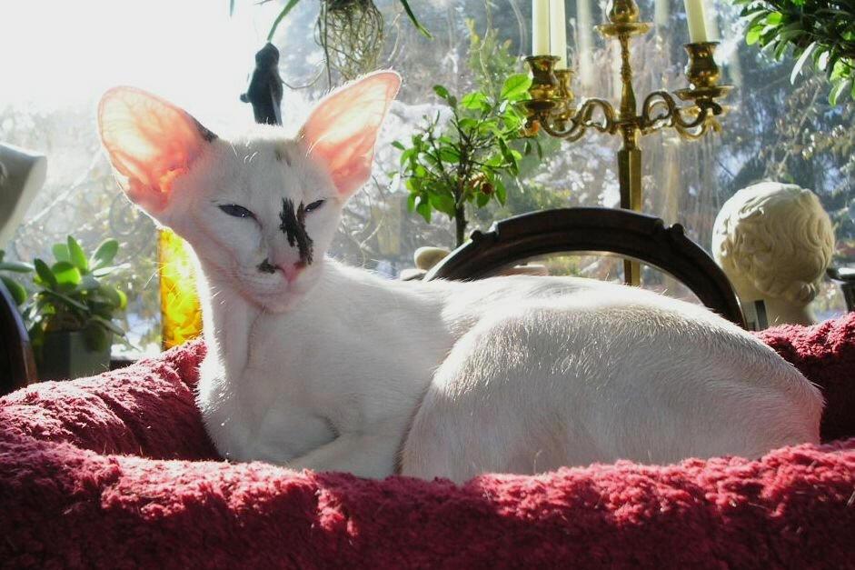 Тайская кошка: описание породы, фото и видео материалы, отзывы о породе