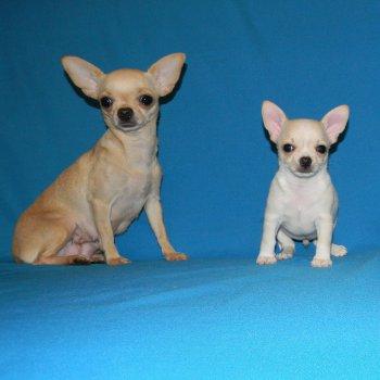 Чихуахуа типа дир (17 фото): стандарт взрослых собак, особенности короткошерстных щенков. характер и содержание