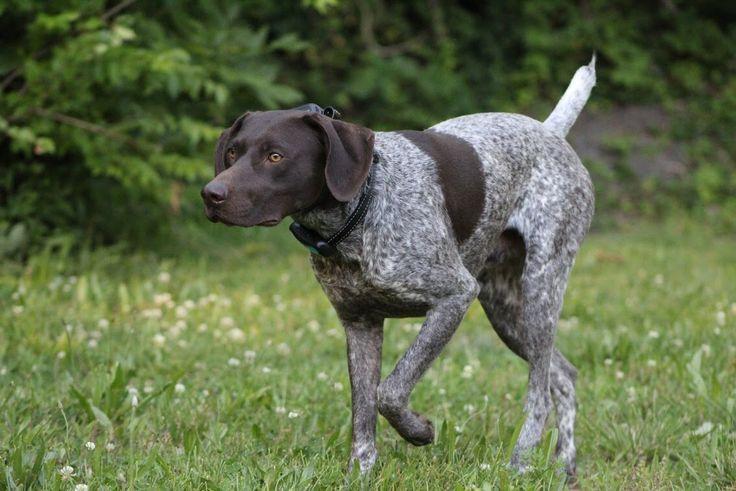 Курцхаар собака: описание породы с фото, немецкой легавой, охота с борзой